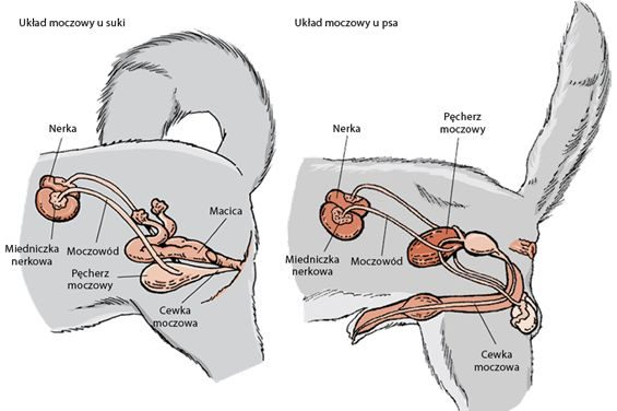 Właściwe podejście diagnostyczne w przypadku zakażeń układu moczowego (ZUM)  u psów i kotów
